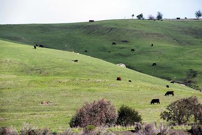 Bovine Hill