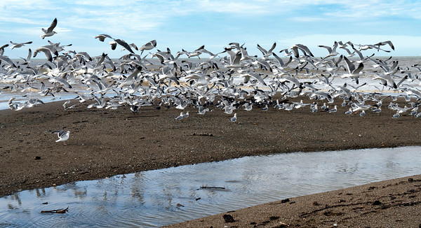 Seagull Flock I