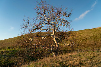 Hillside Tree