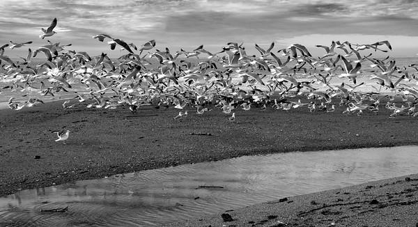 Seagull Flock I _ bw