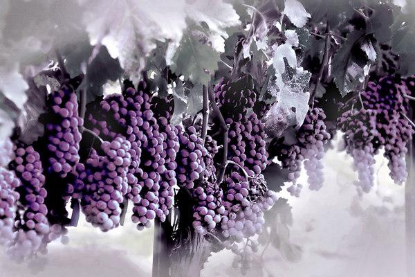 more grapes_2493V B copy