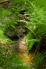 Berry Creek - Big Basin #9976