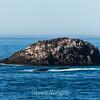 Sea Lions - Coast #8099