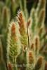 Rabbit's Foot Grass - Garrapata #6469