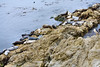 Harbor Seals - 17 Mile Drive (10)