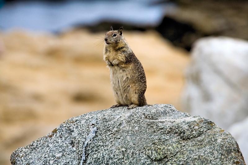 Ground Squirrels - 17 Mile Drive (4)