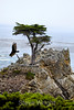 Lone Cypress - 17 Mile drive (11)