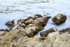 Harbor Seals - 17 Mile Drive (2)