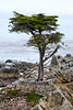 Lone Cypress - 17 Mile drive (5)