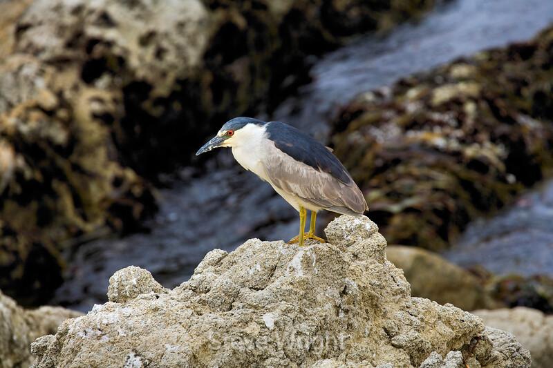 Black Crowned Night heron - 17 Mile drive (5)