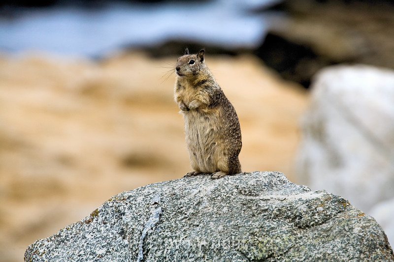 Ground Squirrels - 17 Mile Drive (6)