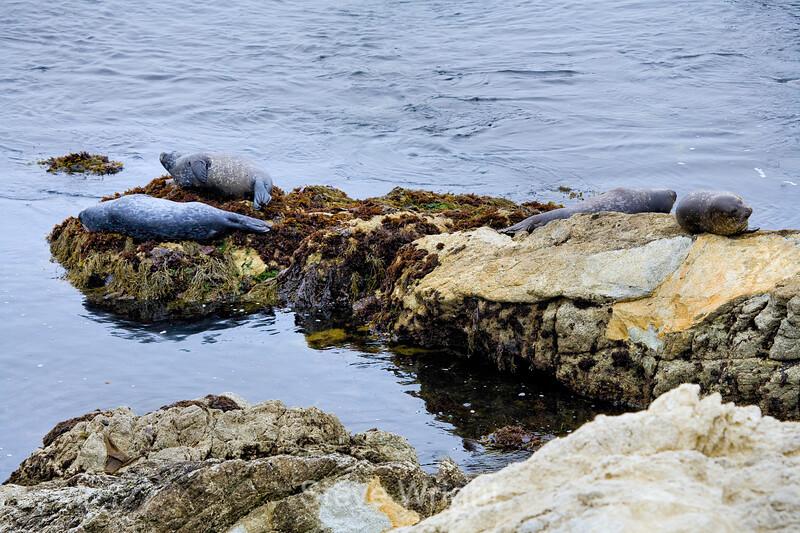 Harbor Seals - 17 Mile Drive (12)