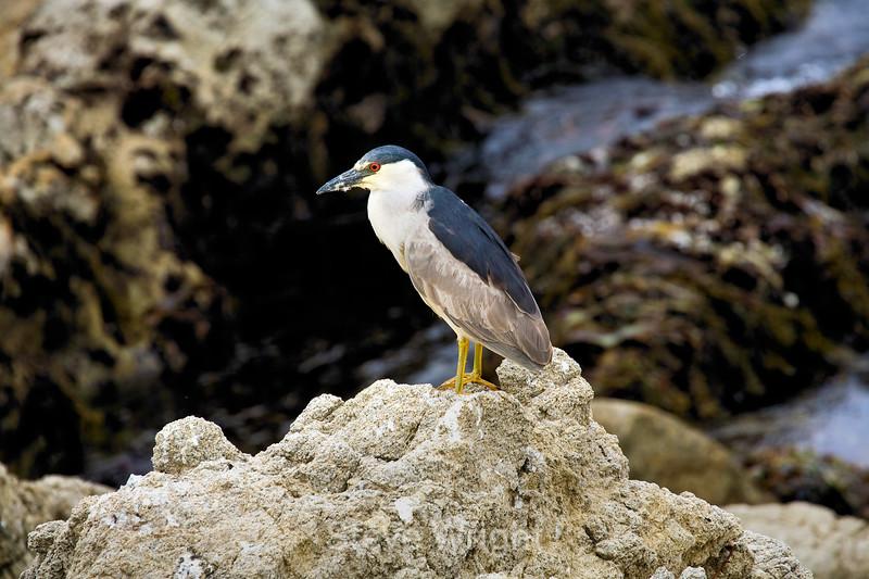 Black Crowned Night heron - 17 Mile drive (6)