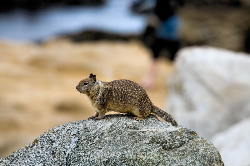 Ground Squirrels - 17 Mile Drive (3)