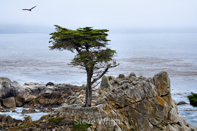 Lone Cypress - 17 Mile drive (7)