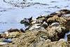 Harbor Seals - 17 Mile Drive (1)