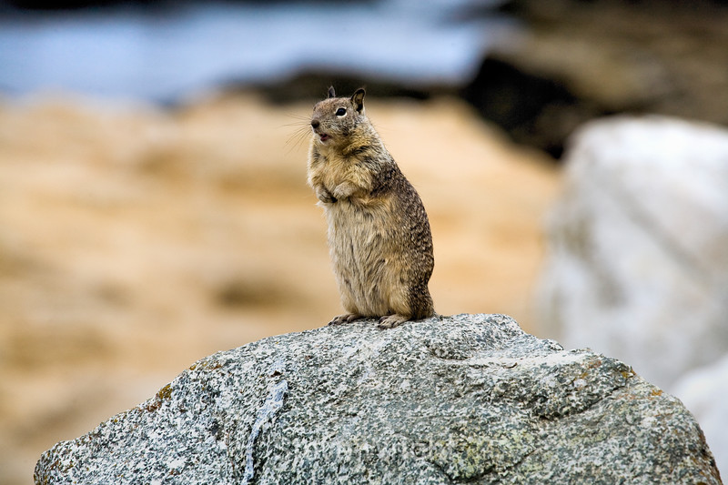 Ground Squirrels - 17 Mile Drive (5)