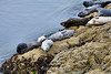 Harbor Seals - 17 Mile Drive (8)
