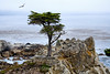 Lone Cypress - 17 Mile drive (6)