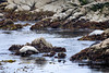 Harbor Seals - 17 Mile Drive (6)