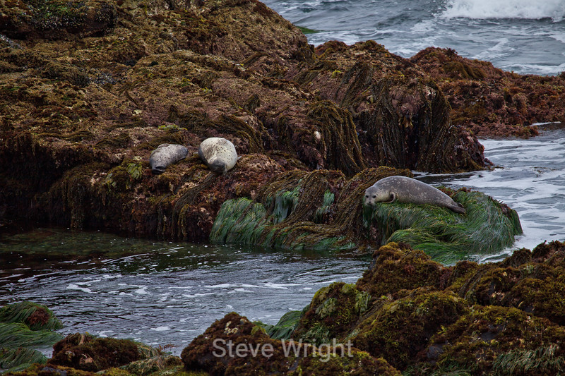 Harbor Seals - Pacific Grove #6827