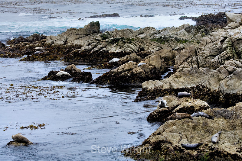 Harbor Seals - 17 Mile Drive (7)