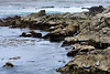 Harbor Seals - 17 Mile Drive (7)