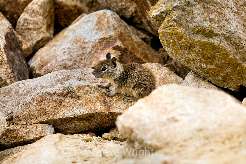 Ground Squirrels - 17 Mile Drive (10)