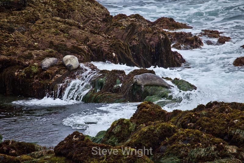 Harbor Seals - Pacific Grove #6832