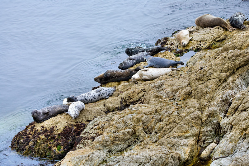 Harbor Seals - 17 Mile Drive (9)