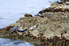 Harbor Seals - 17 Mile Drive (13)