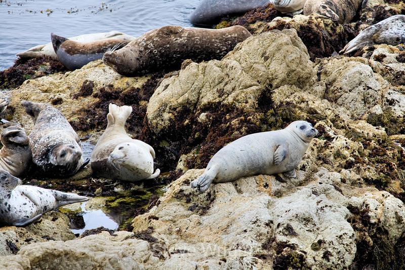 Harbor Seals - 17 Mile Drive (3)
