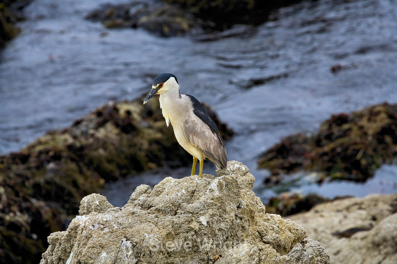 Black Crowned Night heron - 17 Mile drive (3)