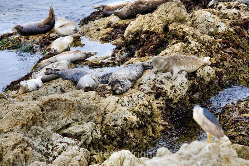 Harbor Seals - 17 Mile Drive (11)