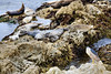 Harbor Seals - 17 Mile Drive (11)