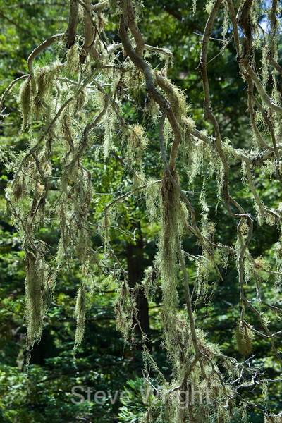 Mossy Trees - Garrapata (2)