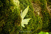 Mossy Tree - Garrapata (1)