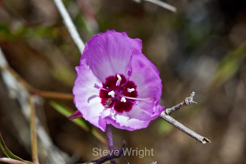 Godetia flowers - Garrapata (1)