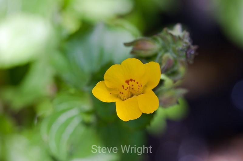 Seep Spring Monkey Flower - Garrapata (2)