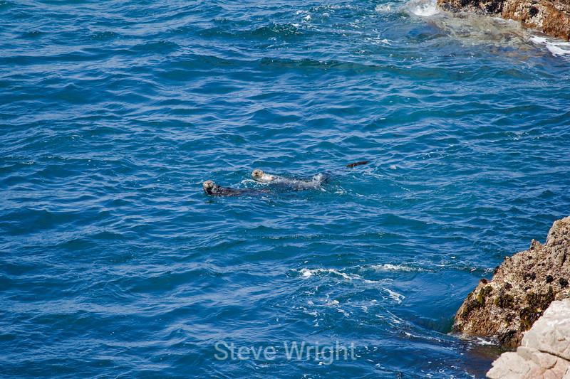 Otters - Garrapata (2)