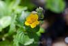 Seep Spring Monkey Flower - Garrapata (1)