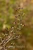 Figwort - Garrapata (1)