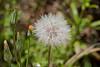Dandelion - Garrapata (1)