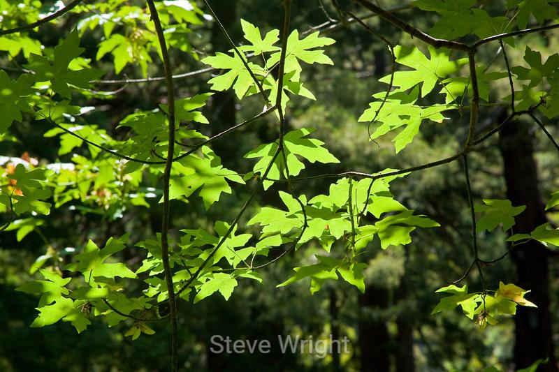 Leaves - Garrapata (4)
