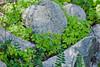 Redwood Sorrel - Garrapata (5)