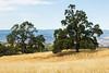 Trees - Henry Coe Park #4166