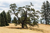 Trees - Henry Coe Park #4154