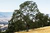 Trees - Henry Coe Park #4194