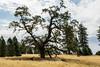 Trees - Henry Coe Park #4174