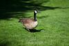 Canada Geese - Japanese Friendship Garden #0367